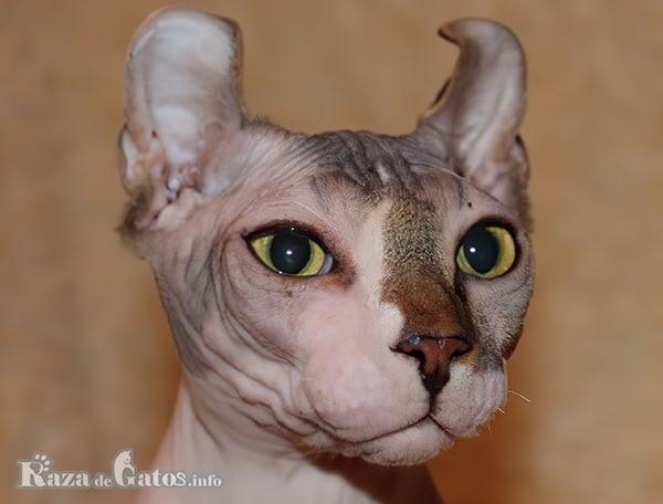 Imágen de la cara del gato Elfo.