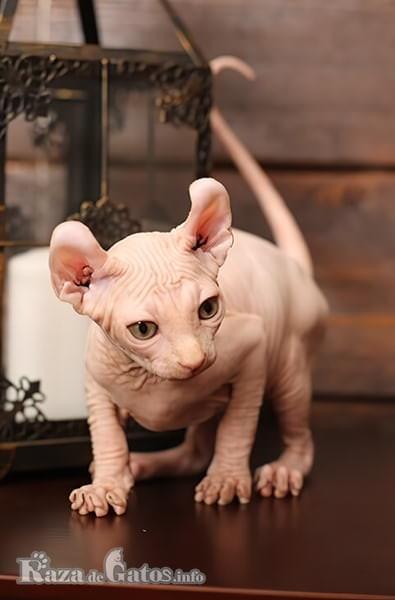 Foto de un pequeño gatito elfo bebé.