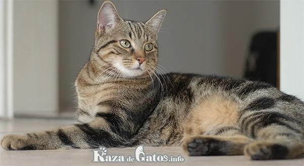 Imágen del gato europeo sentado.