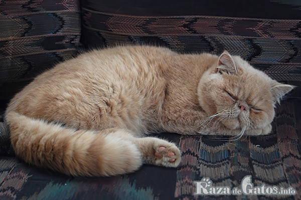 Foto del gato Exótico, la raza del gato de Garfield en la vida real