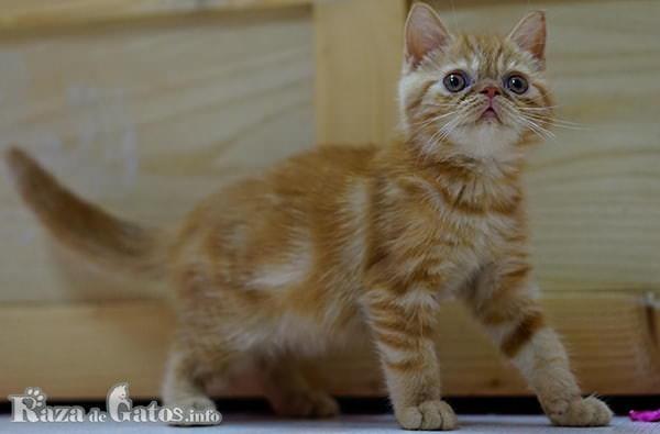 Gato exótico bebe.