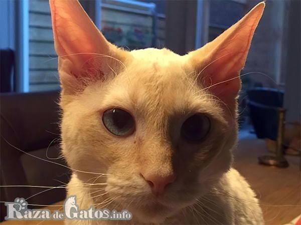 Foto de la cara del Gato German Rex.