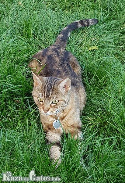 Foto del gato german rex, tambien llamado gato Rex Alemán.