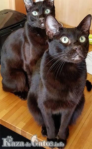 Foto de dos gatos Havana Brown.