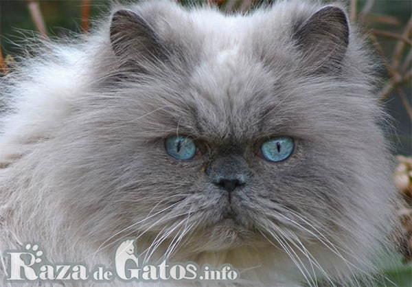 Foto de la cara del gato Himalayo.