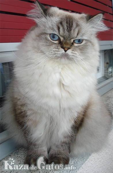 Foto del gato Himalaya sentado.