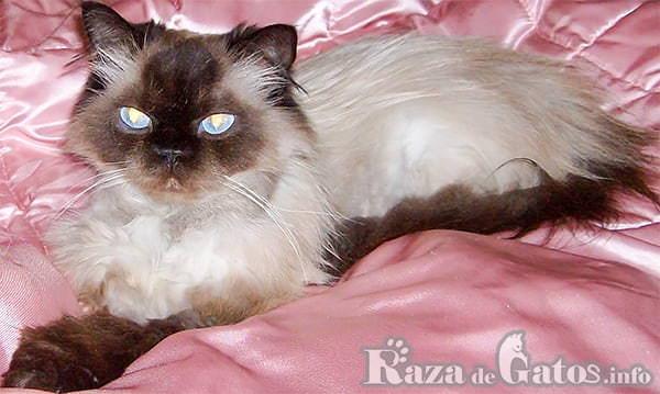 Imágen del gato Himalayo durmiendo.