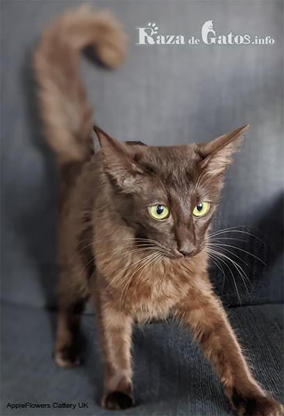 Imágen del gato oriental de pelo largo o javanés.