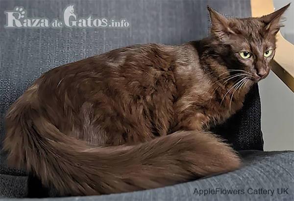 Foto del gato Javanés de pelo largo.