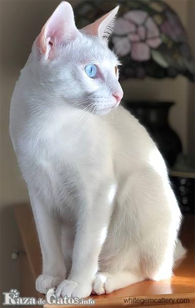 Fotografia del gatito Khao manee.