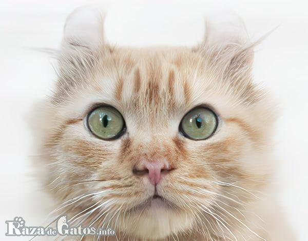 Fotografía de la cara del gato Kinkalow en primer plano.