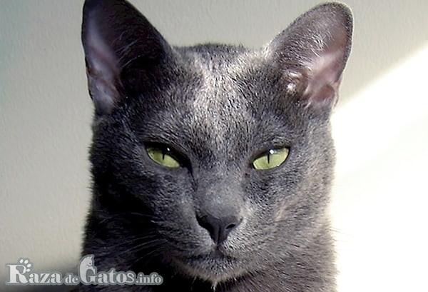 Fotografía de la cara del gato Korat.