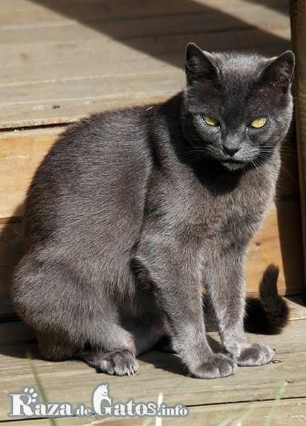 Imágen del gato Korat descansando.