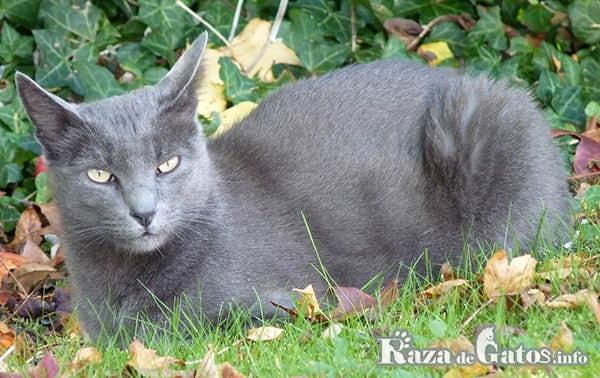 Foto del gatito korat de la buena suerte.