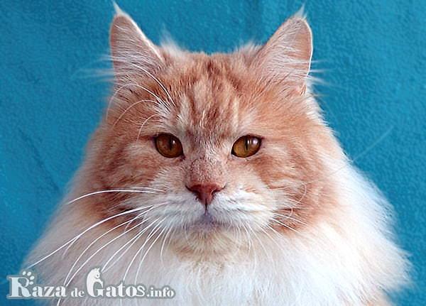 Foto de la cara del gato Kurilian Bobtail.