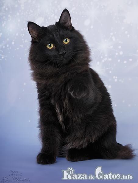 Imágen de un gato de raza Kurilian Bobtail color negro.