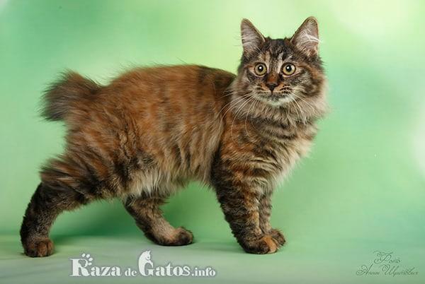 Foto del gato Kurilian bobtail enseñando su corta cola.
