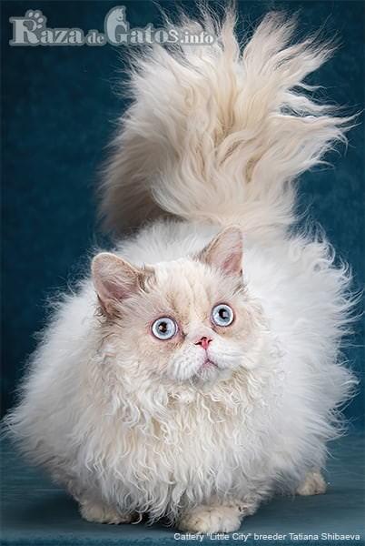 foto del gato Lambkin elegante.