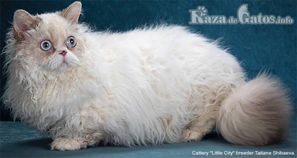Fotografía del gato lambkin pequeño. También llamado gato cordero o gato oveja.