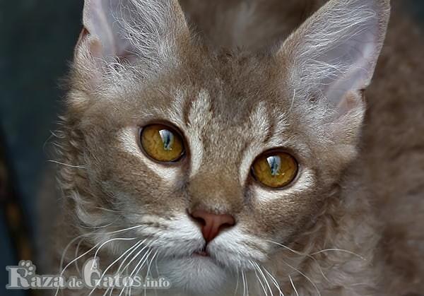 Foto de la cara del gato Laperm.