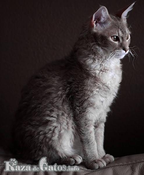 Imágen del gato LaPerm de pelaje rizado.