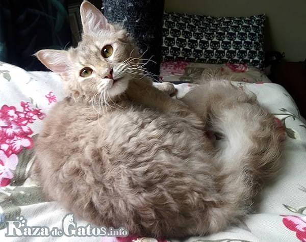 Foto del gato Dalles LaPerm de pelo ondulado.
