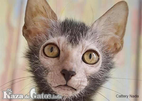 Foto de la cara del gato Lykoi.