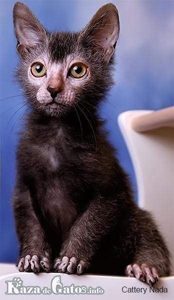Fotografía de un gatito Lykoi bebé.