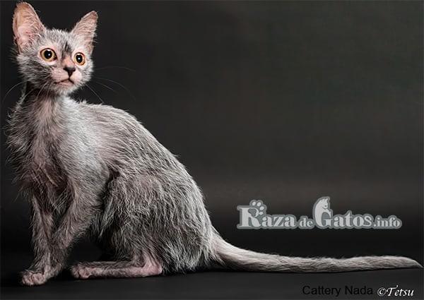 """Imágen del gato Lykoi, también llamado """"gato lobo""""."""