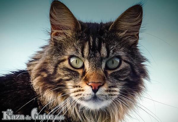 Foto de la cara del gato Maine Coon.
