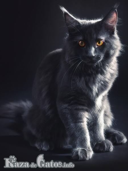 "Foto del enorme gato Maine Coon, ""El gato Gigante"""