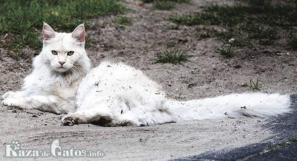 Imágen del gato Maine Coon, también llamado American Forest Cat.