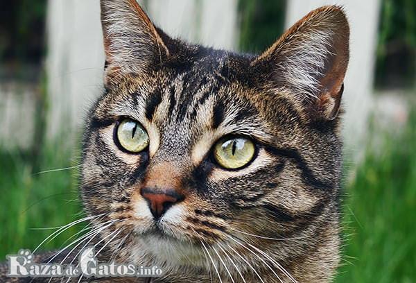 Foto de la cara del Gato Manx.