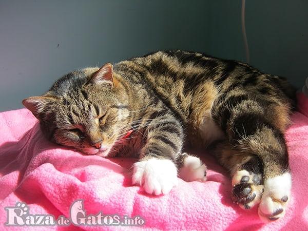 Fotografia del gato manx descansando, también llamado gato manés.