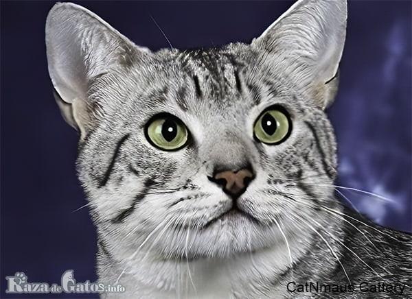 Foto del gato Mau Egipcio.