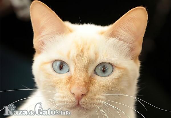 Imágen de la cara del gato Mekong Bobtail.