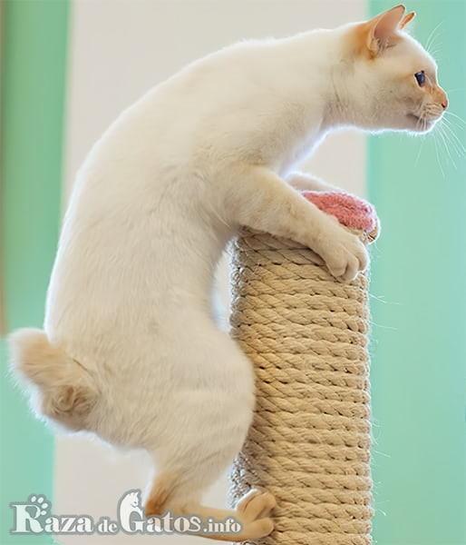 Foto del gato Mekong Bobtail escalando un arbol para gatos.