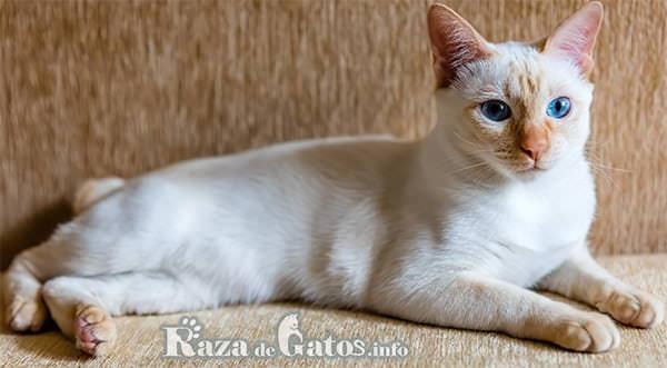 Fotografía del gatito Mekong bobtail. Tambien llamado gato Mekong tailandés.
