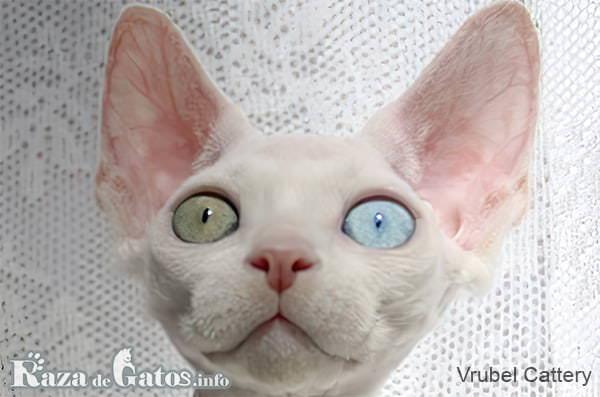 Imágen de la cara del gato minskin.