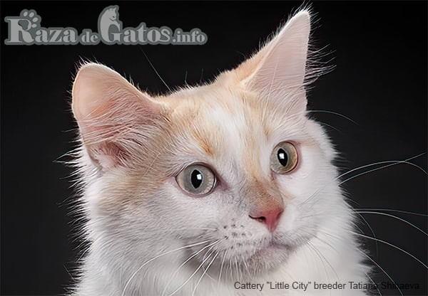 Foto de la cara del gato Munchkin.