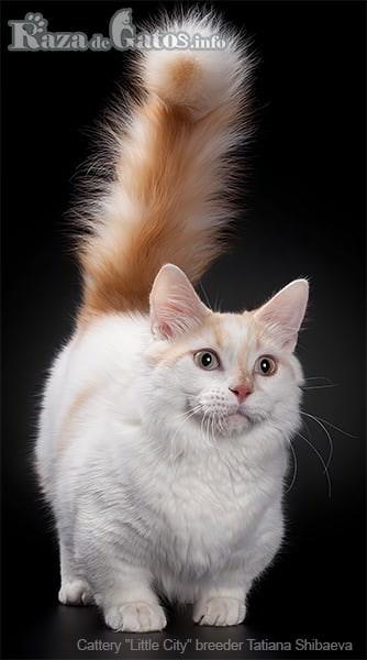 Imágen del gato Munchkin con patitas cortas. También llamado gato salchicha.