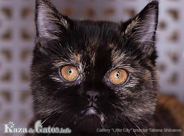 Foto de la cara del gato Minuet.