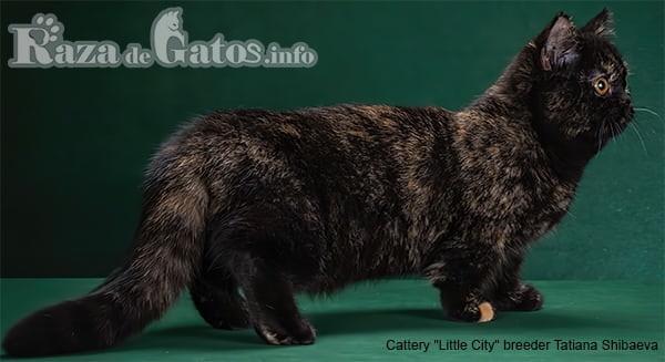 Imágen del gato Minuet enano, también llamado gato Napoleón.