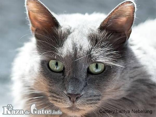 Foto de la cara del gato nebelung.
