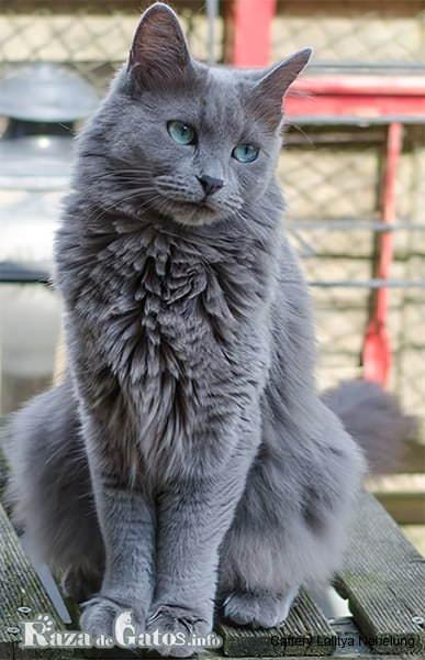 Imágen del gato nebelung, tambien conocido como el gato azul ruso de pelo largo.