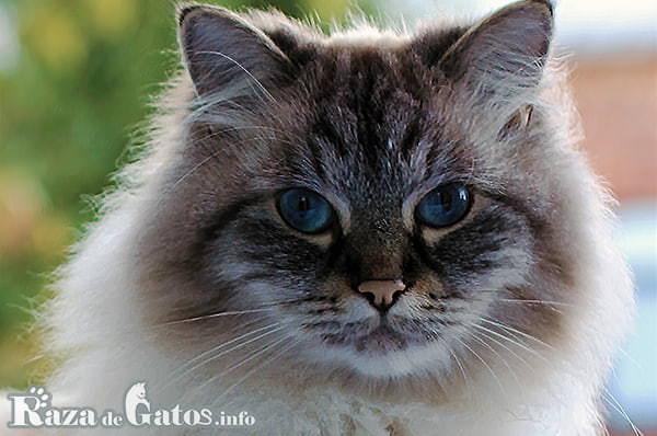 Foto de la cara del gato Neva Masquerade.