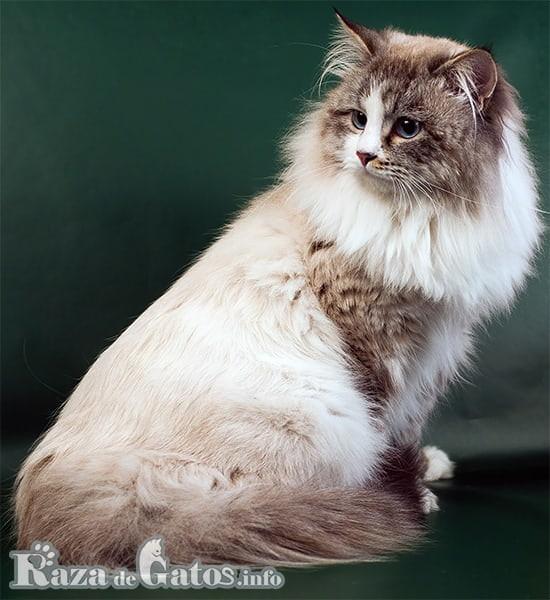 Imágen del gato neva masquerade, la version point del gato siberiano.