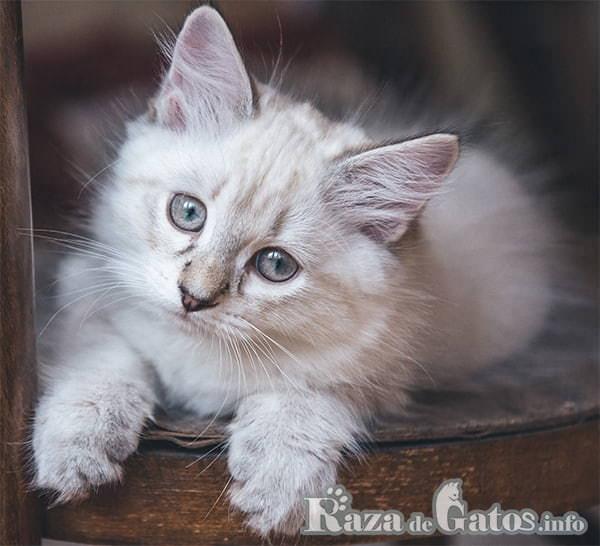 Foto del gato Neva Masquerade bebé.
