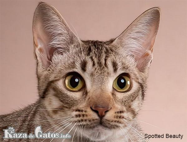 Foto de la cara del gato Ocicat.