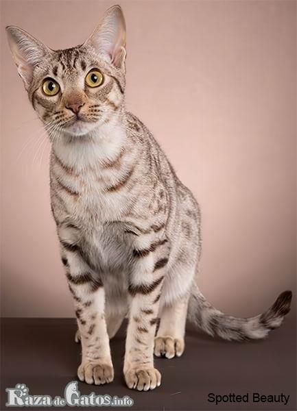 Imágen del gato Ocicat, posando para la foto.